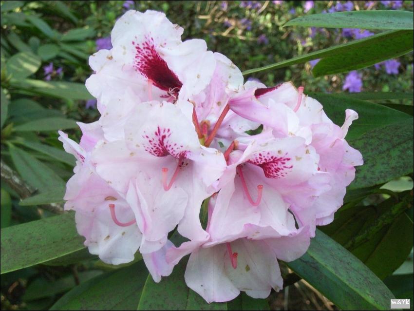 https://lh3.googleusercontent.com/-tJIcipJCiGs/Tf9CNy60j9I/AAAAAAAAAbM/1IHHAjPswhM/s850/rododendron06.jpg