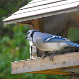 Blue Jay on my backyard feeder