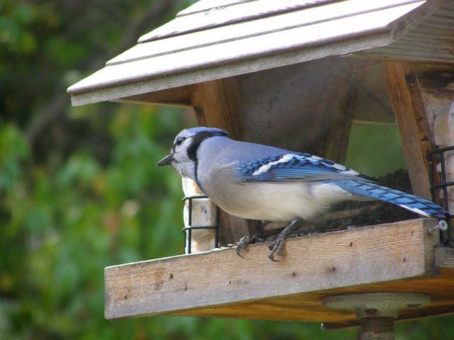 Blue Jay on my backyard feeder
