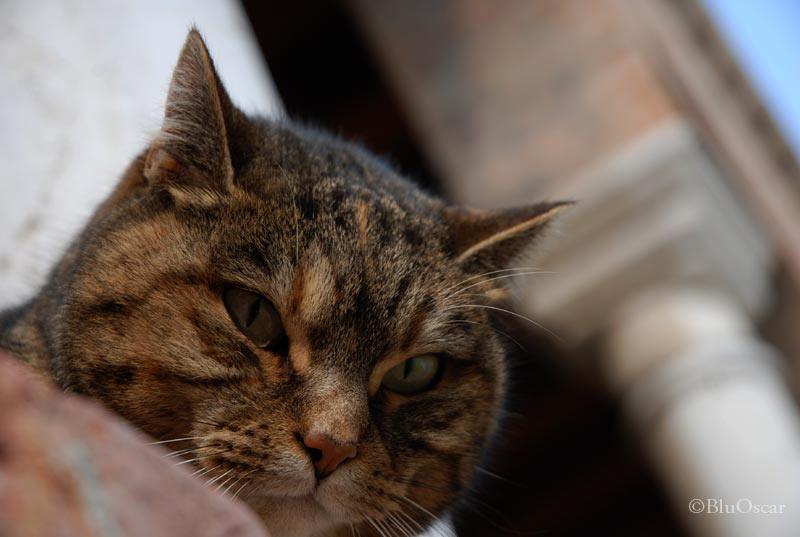 Gatti veneziani 13 02 2011 N 8