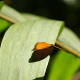 Cirrochroa malaya calypso WALLACE, 1869 ou bien Cirrochroa emalea ravana MOORE, (1858). Sukau, lot n°2, 6 août 2011. Photo : J.-M. Gayman