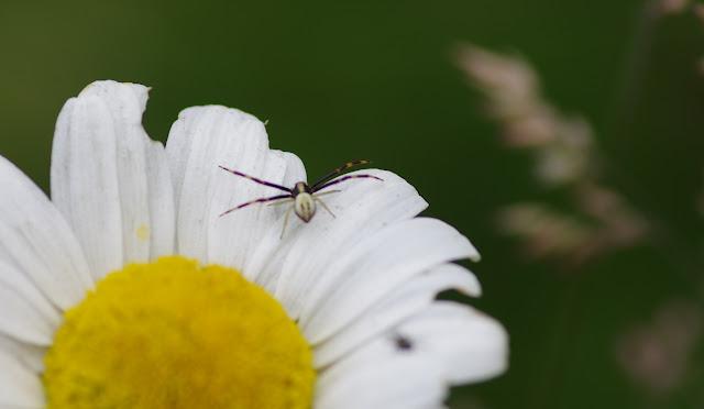(?) Thomisidae : Runcinia grammica (KOCH, 1837). Les Hautes-Lisières (Rouvres, 28), 16 juin 2012. Photo : J.-M. Gayman