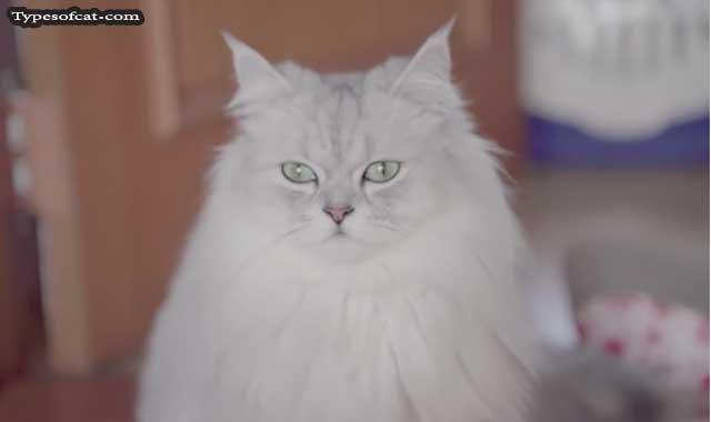 persian cat breed profile