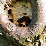Frelons sortant de leur nid. Les Hautes-Lisières (Rouvres, 28), 21 septembre 2013. Photo : J.-M. Gayman