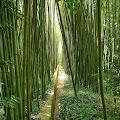 Cara pohon bambu beradaptasi dengan lingkungan
