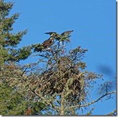 Osprey at Huntley Park, Gold Beach Oregon