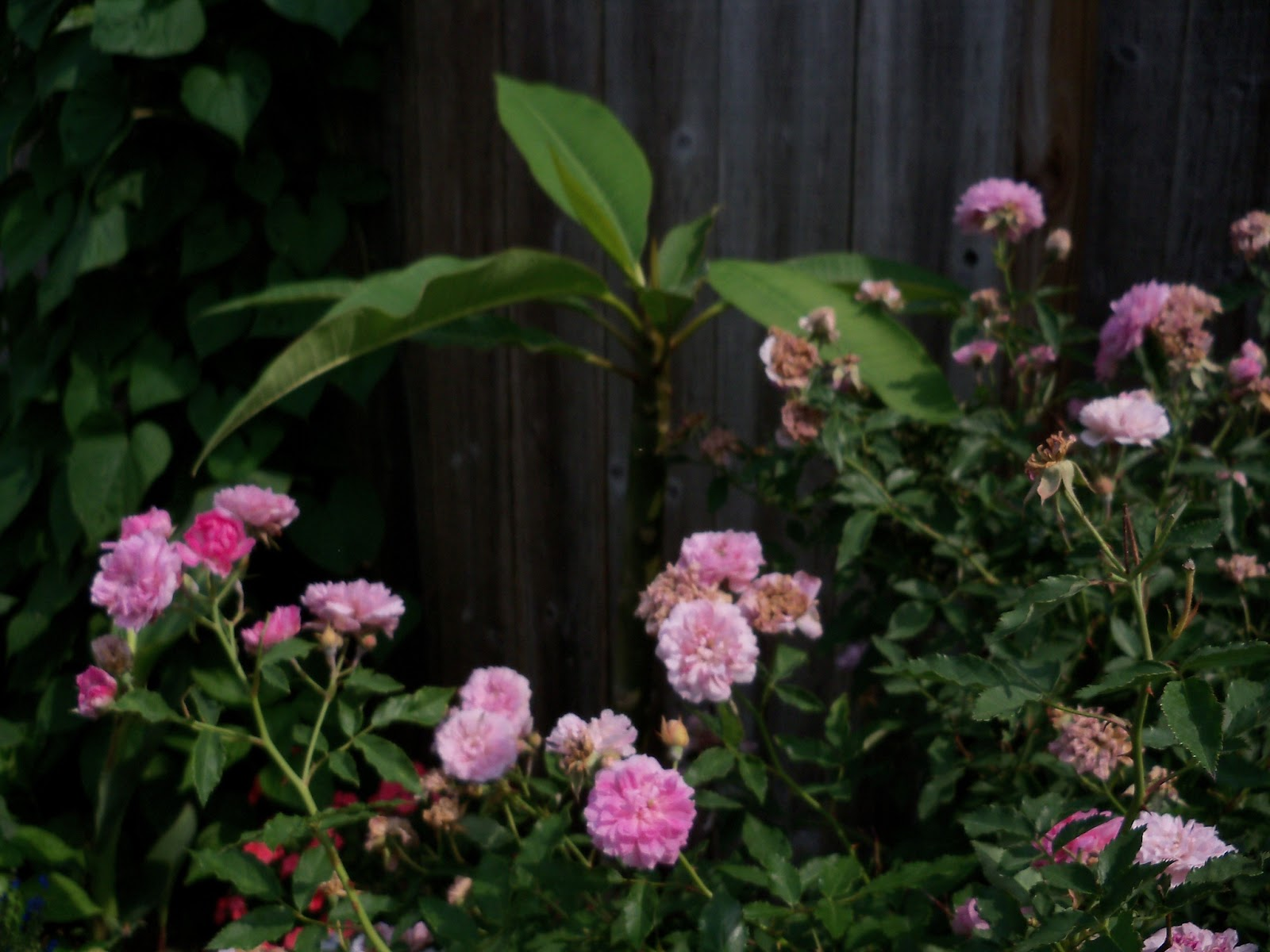 Gardening 2011 - 100_8585.JPG