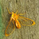 Arctiidae : Ctenuchinae : Isanthrene monticola SCHAUS, 1911. Mount Totumas, 1900 m (Chiriquí, Panamá), 22 octobre 2014. Photo : J.-M. Gayman