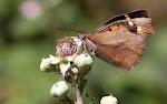 Snudesommerfugl.jpg