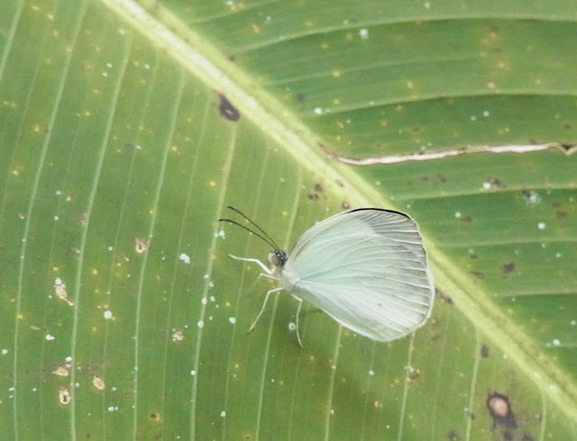 Eurema albula albula (Cramer, 1775), mâle. Campamento Las Moyas, 1100 m (Santa María en Boyacá, Boyacá, Colombie), 16 novembre 2015. Photo : J. Michel