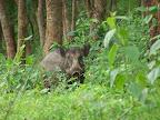 Wild boar. Yoohoo, Obelix!