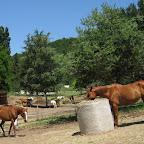 Foin à volonté l'hiver. Et l'été aussi pour les chevaux a faire grossir !