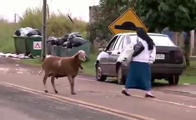 Domba suka menyerang manusia