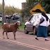 Ada Domba yang Suka Menyerang Manusia, Waspada!