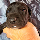 Available black male #2 @ 2 weeks