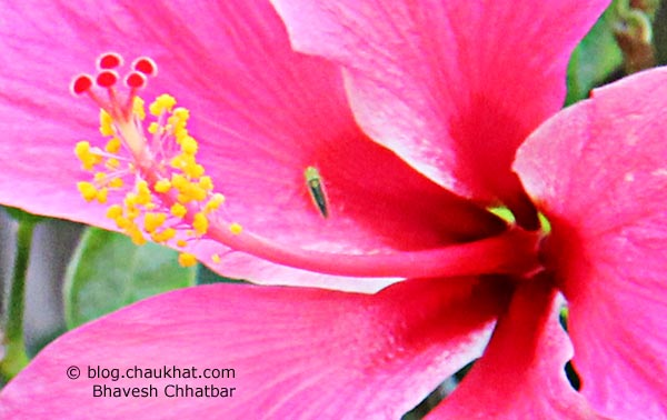 Close-up of a Pink Hibiscus in Baneshwar [Pune]. Did you know that Hibiscus has over 200 sub-species and has many synonyms like Flor de Jamaica, Rosemallow, Bombycodendron Hassk, Sorrel, Pariti Adans, Bombycidendron Zoll & Moritzi, Wilhelminia Hochr, Pariti Adans?