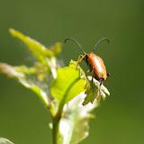 Cerambycidae. Les Hautes-Lisières (Rouvres, 28), 28 juin 2011. Photo : J.-M. Gayman