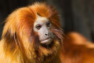 Le tamarin lion doré