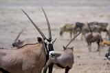 Oryx- Etosha, Namibia