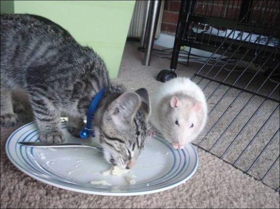Gambar Lucu Kucing dan Tikus