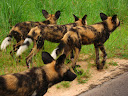 A whole pack of wild dogs in Kruger National Park.