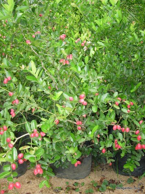 Carissa Plant - DSCN2208.JPG