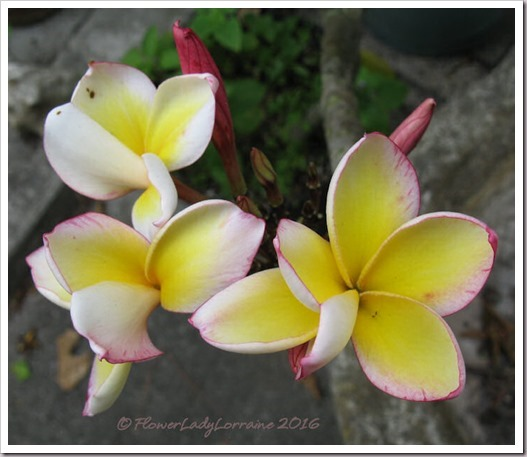 03-19-tri-color-frangipani_thumb2