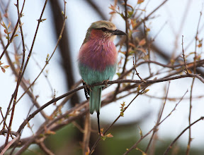 Lilac Breasted Roller, South Africa