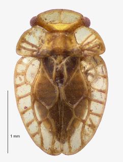 Xenophyes metoponcus (Hemiptera: Peloridiidae). Photo BE Rhode.Citation: Larivière M-C, Burckhardt D, Larochelle A. 2011. Peloridiidae (Insecta: Hemiptera: Coleorrhyncha). Fauna of New Zealand 67. 78 pp. http://www.biotaxa.org/fnz/issue/view/431