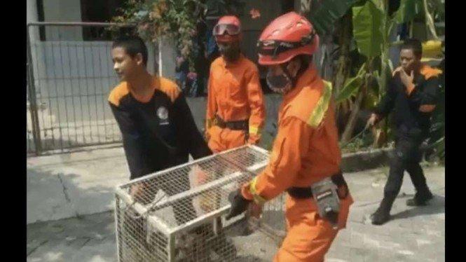 Gigit Bocah 8 Tahun, 2 Monyet Liar di Penjaringan Ditangkap