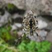 A spider belonging to Araneidae family. An outcrop near Seljalandfoss. Vesa Haapala