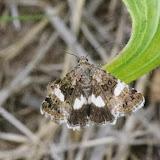 Noctuidae : Metoponiinae : Tyta luctuosa ([Denis & Schiffermüller], 1775). Aix-en-Provence (13, France), 28 juillet 2014. Photo : J.-M. Gayman