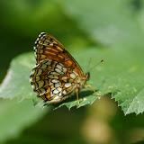 Mellicta athalia athalia (ROTTEMBURG, 1775). Les Hautes-Lisières (Rouvres, 28), 9 juillet 2012. Photo : J.-M. Gayman