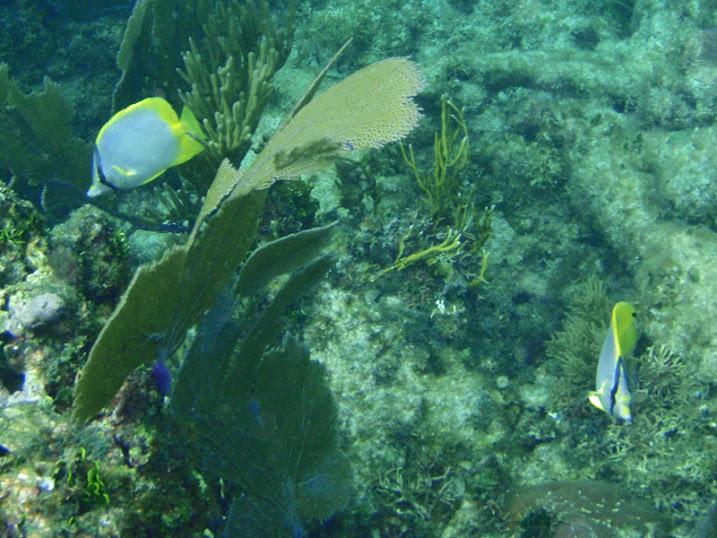 Chaetodon ocellatus (Spotfin Butterflyfish) near Tranquility Bay Resort.