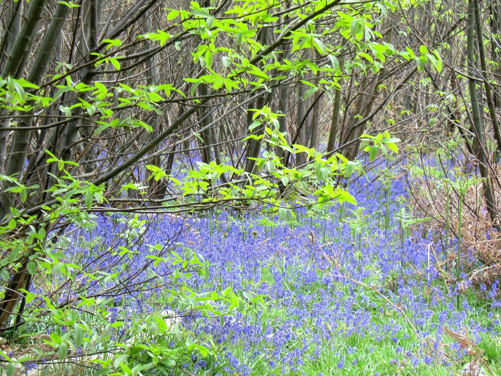 CIMG6434 Bluebells, Wapsbourne Wood