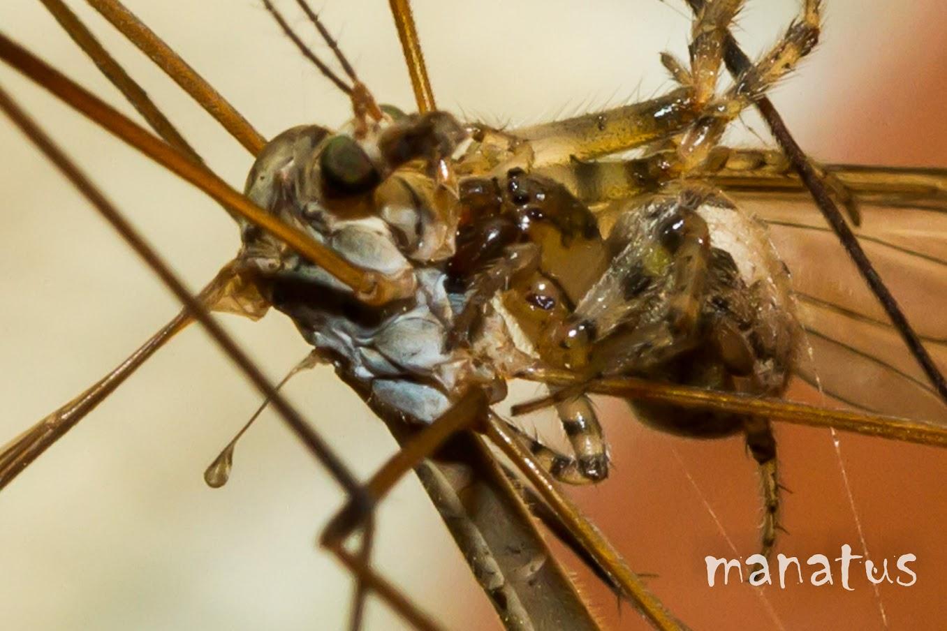 manatus foto blog araña cazando típula