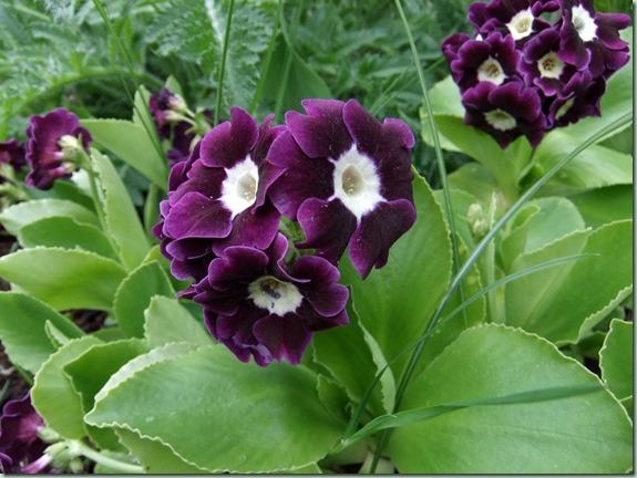 Primula x pubescens lilla