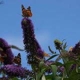 Nombreuses Vanessa cardui sur Buddleia. Les Hautes-Lisières, 13 juillet 2009. Photo : J.-M. Gayman