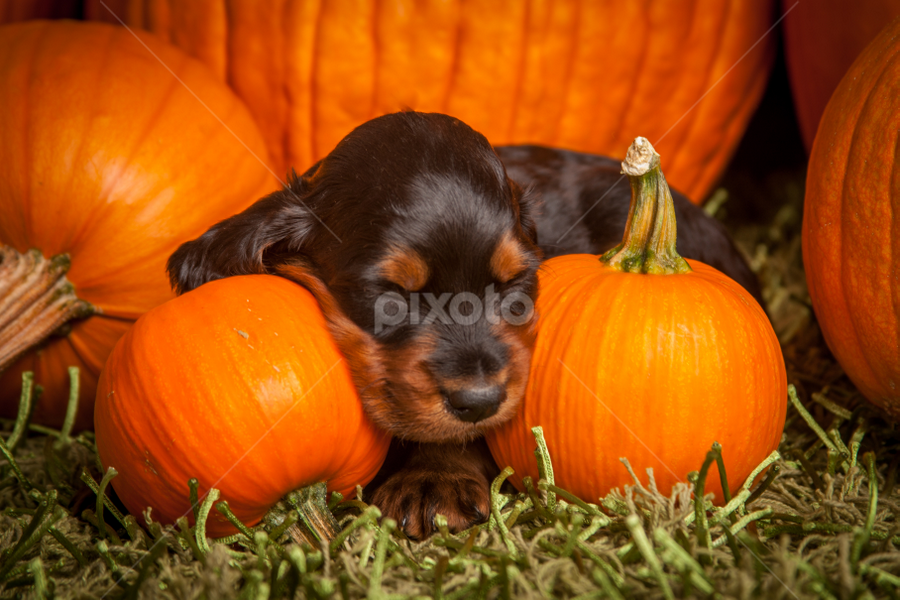 Sleeping puppy and pumpkins. by Christine Lester-Deats - Public Holidays Halloween ( gordon setter, puppies, pumpkins, pwcpumpkins, sleeping, cute, halloween )