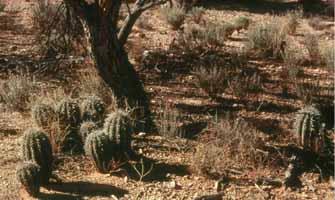 Young_Saguaros_Under_Nurse_Tree_335x200px_LOW-2017-03-4-19-58.jpg