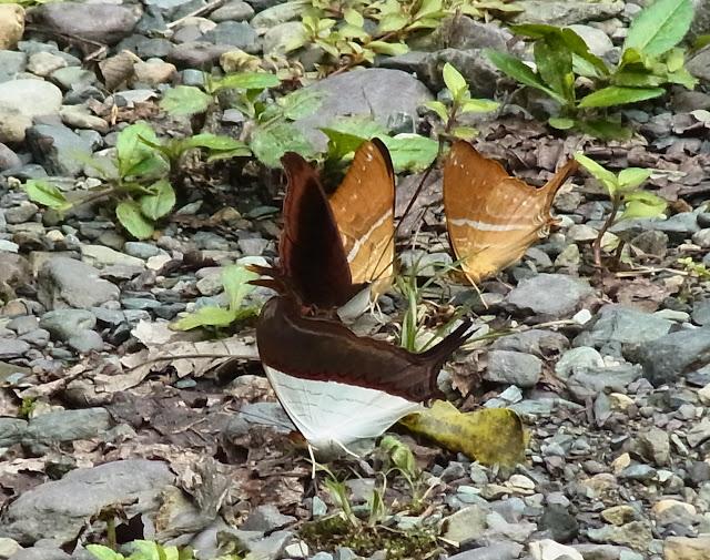 Marpesia corinna (Latreille, [1813]) et M. zerynthia dentigera (Fruhstorfer, 1907). Santa María en Boyacá, 1200 m (Boyacá, Colombie), 19 novembre 2015. Photo : J. Michel
