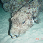Large boxfish