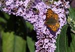 Storplettet perlemorsommerfugl på sommerfuglebusk3.jpg