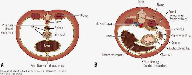 繫膜(mesentery) - 小小整理網站smallcollation, Human Body