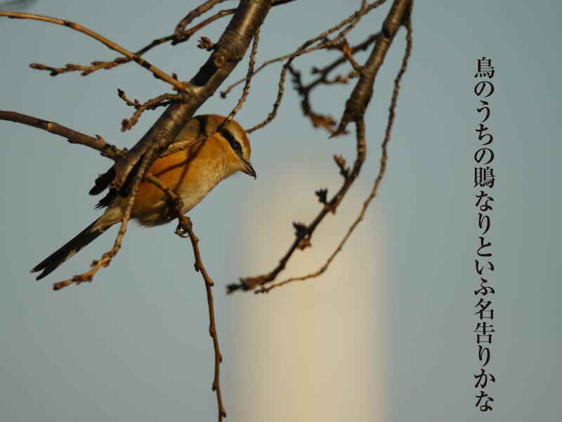 鳥のうちの鵙なりといふ名告りかな