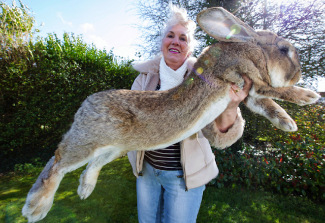 World's biggest rabbit stolen from its owner's home.