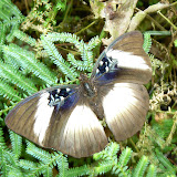 Cymothoe hyarbita hyarbita (HEWITSON, [1866]), femelle. Ebogo (Cameroun), 21 avril 2013. Photo : C. Renoton
