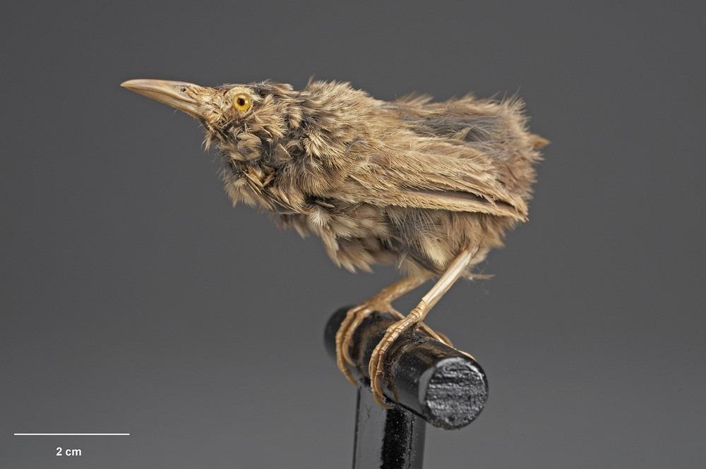 stephens-island-wren-4