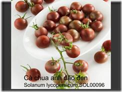 Cà chua anh đào đen