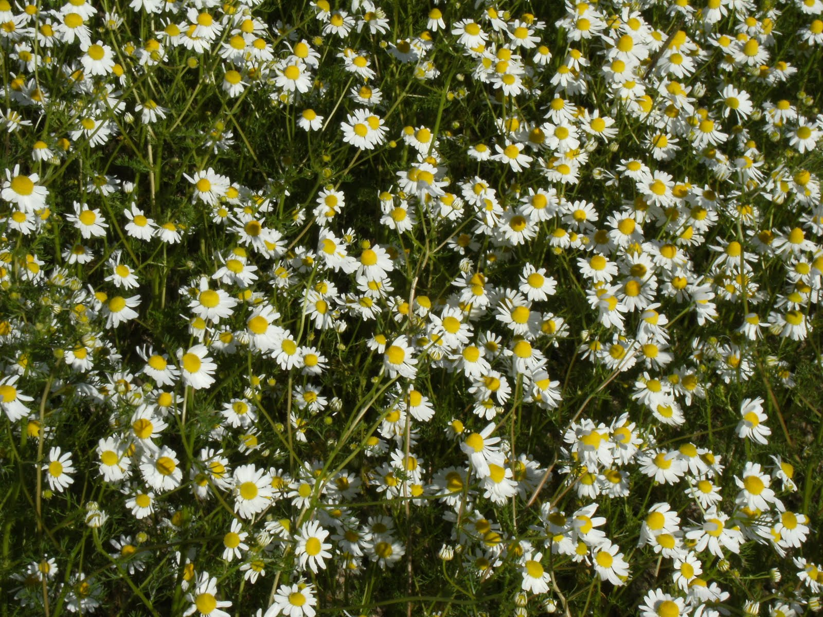 1006160041 Camomiles on Hampkin's Hill